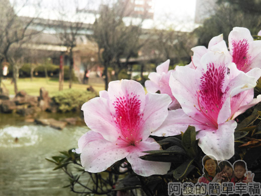 逸仙公園21-盛開的杜鵑花