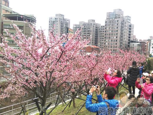 樂活公園賞寒櫻04-盛開的寒櫻