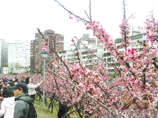 樂活公園賞寒櫻07-每棵都開滿了寒櫻