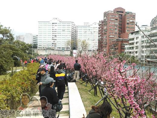 樂活公園賞寒櫻08-很有Fu的粉紅步道
