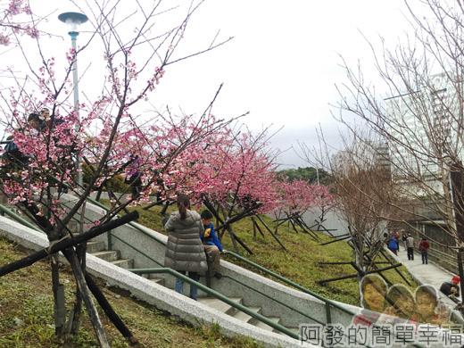 樂活公園賞寒櫻11-階梯