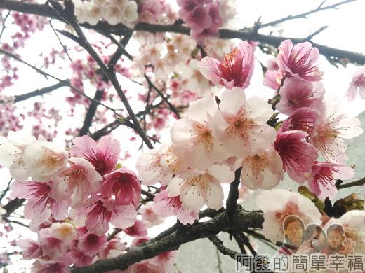 樂活公園賞寒櫻14-像爆米花般的綻放
