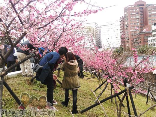 樂活公園賞寒櫻22-有如小型櫻花林