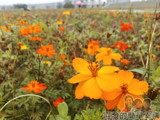 大臺北都會公園II23-幸福水漾公園-豔黃的波斯菊.jpg