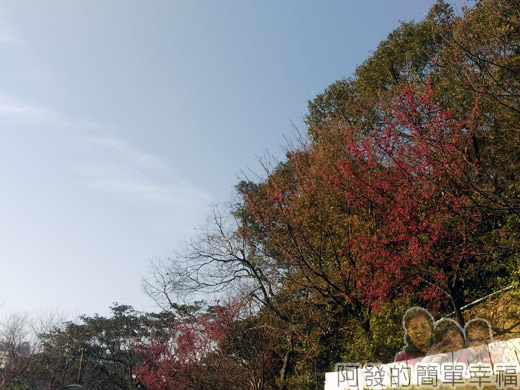 壽山巖觀音寺21-車道旁山櫻花