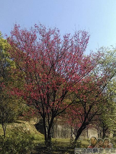 壽山巖觀音寺22-茂盛的山櫻樹