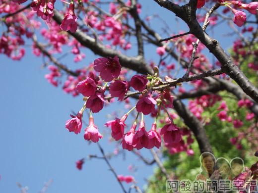 壽山巖觀音寺24-盛開的山櫻花II