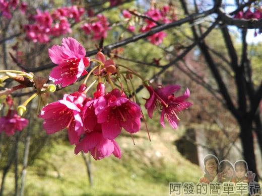 壽山巖觀音寺23-盛開的山櫻花I