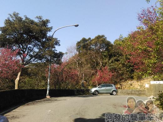 壽山巖觀音寺25-車道旁開滿山櫻