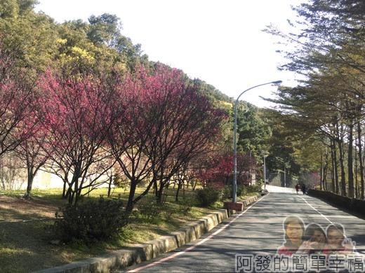 壽山巖觀音寺26-車道旁的櫻花林