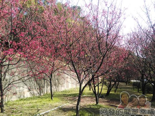壽山巖觀音寺28-很有Fu櫻花林
