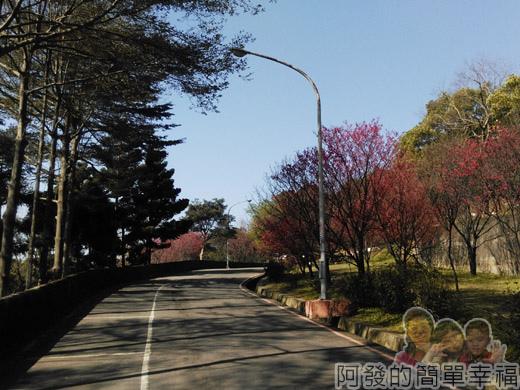 壽山巖觀音寺32-車道旁山櫻花