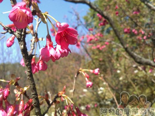 壽山巖觀音寺31-綻放的山櫻
