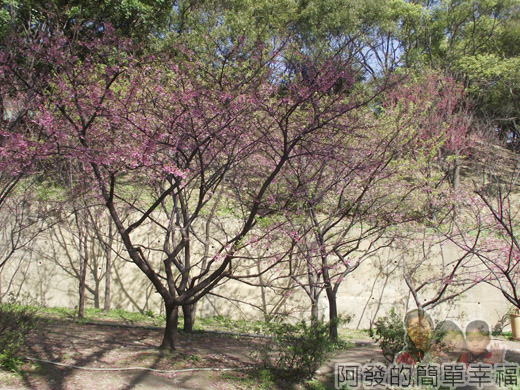 壽山巖觀音寺33-幾棵富士櫻樹(寒櫻)