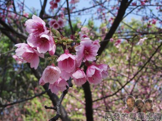 壽山巖觀音寺38-淡粉嬌嫩的寒櫻綻放