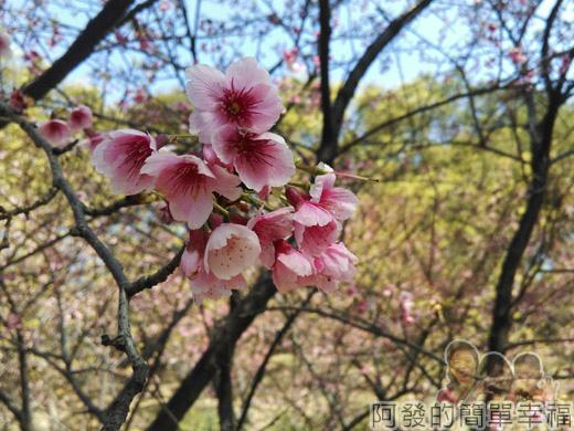 壽山巖觀音寺40-柔美嬌媚,粉嫩粉嫩的寒櫻