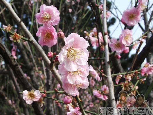 中正紀念堂八重櫻與宮粉梅雙綻29-梅花也有粉紅重瓣