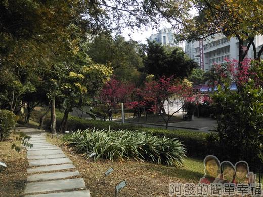 中正紀念堂八重櫻與宮粉梅雙綻38-南洋杉步道旁櫻景