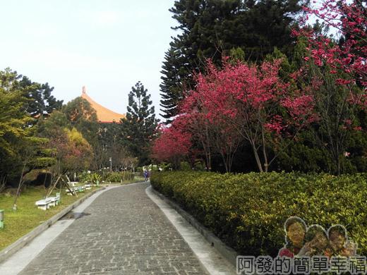 中正紀念堂八重櫻與宮粉梅雙綻04-通往雲漢池步道旁八重櫻