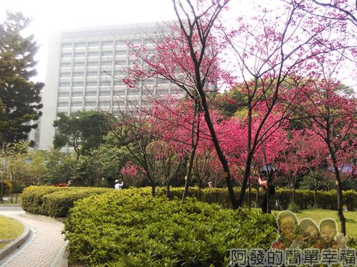 中正紀念堂八重櫻與宮粉梅雙綻05-八重櫻櫻花林