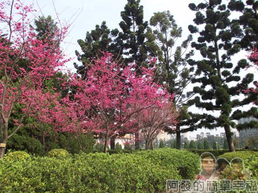 中正紀念堂八重櫻與宮粉梅雙綻09-通往中央廣場步道旁櫻景