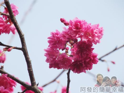 中正紀念堂八重櫻與宮粉梅雙綻10-狀如菊花又有菊櫻之稱