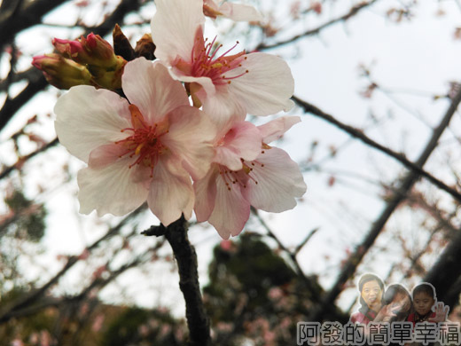 中正紀念堂八重櫻與宮粉梅雙綻14-柔美嬌媚的寒櫻