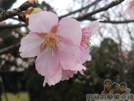中正紀念堂八重櫻與宮粉梅雙綻15-淡粉嬌嫩的寒櫻