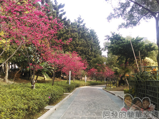 中正紀念堂八重櫻與宮粉梅雙綻20-八重櫻步道