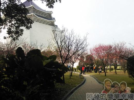 中正紀念堂八重櫻與宮粉梅雙綻21-面對中正紀念堂左側的櫻花林