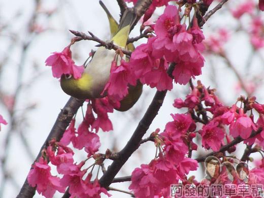 中正紀念堂八重櫻與宮粉梅雙綻23-八重櫻上覓食的鳥兒