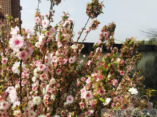 春遊泰安尋櫻趣09-怒放的寒櫻