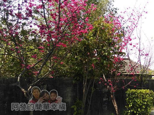 春遊泰安尋櫻趣11-矮磚瓦房與櫻花