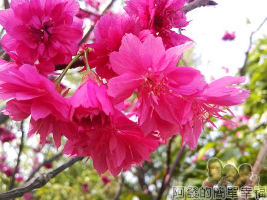 春遊泰安尋櫻趣12-櫻花綻放