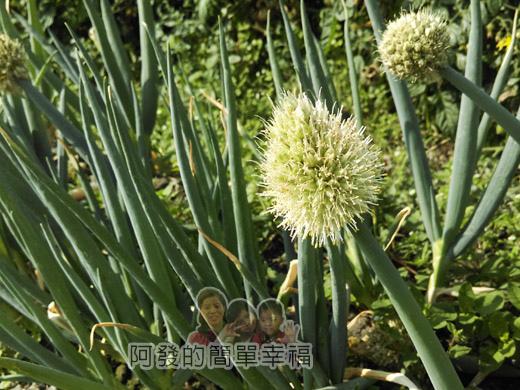春遊泰安尋櫻趣14-蔥開花