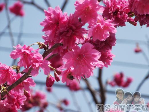 春遊泰安尋櫻趣17-櫻花上採蜜的蜂兒
