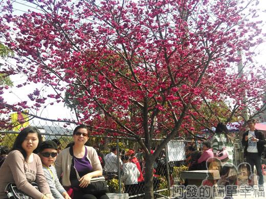 春遊泰安尋櫻趣18-泰安國小前櫻花樹下留影