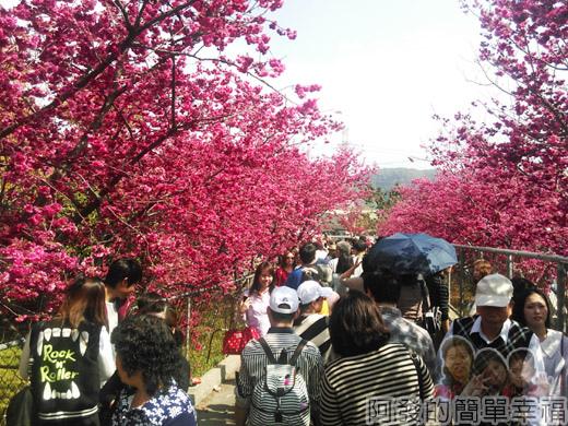 春遊泰安尋櫻趣25-怒放且茂密的櫻花