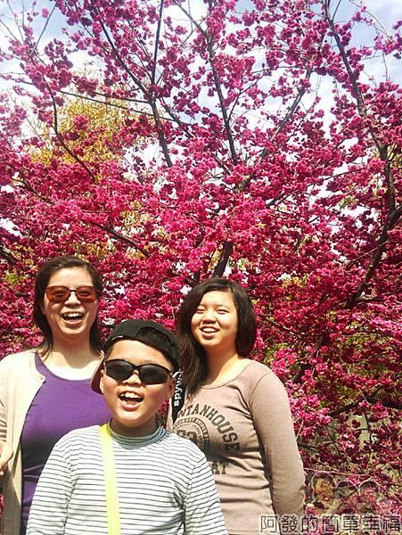 春遊泰安尋櫻趣26-盛開的櫻花前留影
