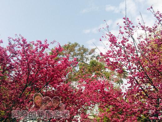 春遊泰安尋櫻趣28-豔粉櫻與藍天