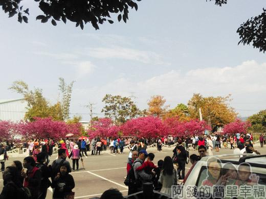 春遊泰安尋櫻趣34-停車場週邊圍繞櫻花樹