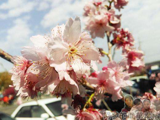 春遊泰安尋櫻趣36-吉野櫻綻放-淡粉嬌嫩