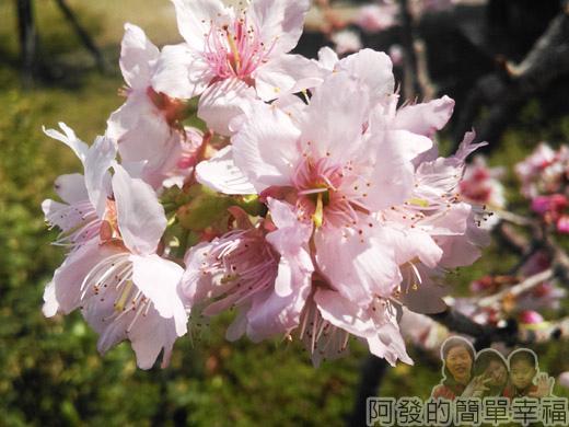 春遊泰安尋櫻趣35-吉野櫻綻放-約有十多株的吉野櫻