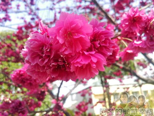 春遊泰安尋櫻趣39-豔粉的櫻花