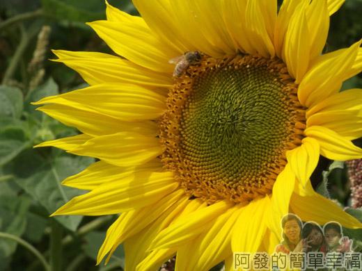春遊泰安尋櫻趣44-向日葵上採蜜的蜂兒