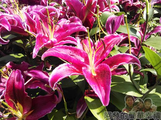 中社觀光花市26-亞洲型紫眼百合