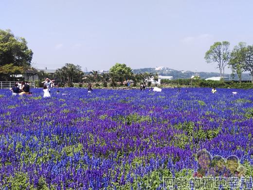 中社觀光花市44-紫色花海(鼠尾草)