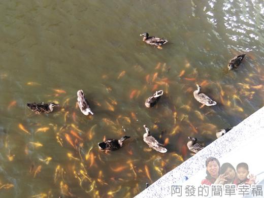 客家圓樓52-護城河中的魚鴨成群