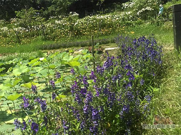 白石湖30-浪漫同心池旁的紫色鼠尾草