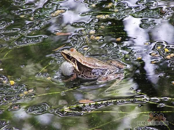 白石湖38-生態池舊貌-青蛙鼓足氣囊